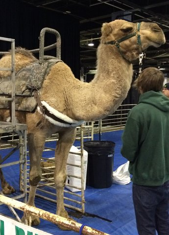 Ride a camel at the Travel and Adventure Show
