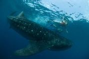 Whale sharks are gentle giants--and mostly vegan. Photo by Cancun CVB