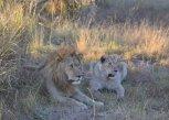 Lions in the Okavango Delta, Botswana
