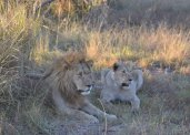 Lions in the Okavango Delta, Botswana