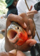 Fishing for piranha in the Amazon