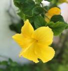 Hibiscus Grenada